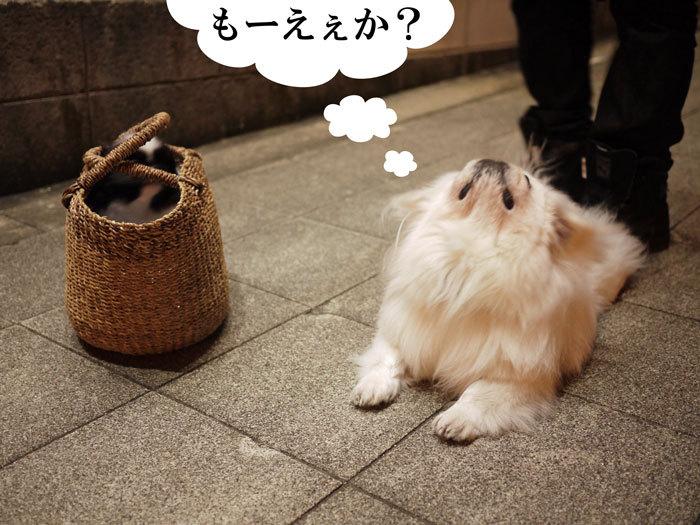 $ペキニーズ Blog-白ペキニーズ シロ♂ & 白黒ペキニーズ クロ♀のフォトブログ-2011.5.18.シロクロ