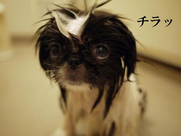 ペキニーズ Blog-白ペキニーズ シロ♂ & 白黒ペキニーズ クロ♀のフォトブログ-2011.5.21.クロ