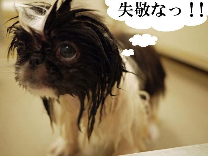 ペキニーズ Blog-白ペキニーズ シロ♂ & 白黒ペキニーズ クロ♀のフォトブログ-2011.5.24.濡れクロ