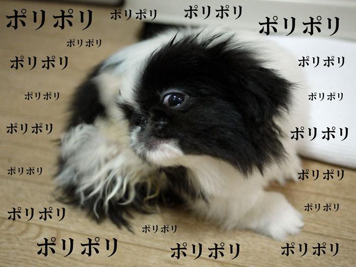 ペキニーズ Blog-白ペキニーズ シロ♂ & 白黒ペキニーズ クロ♀のフォトブログ-2011.5.24.クロ
