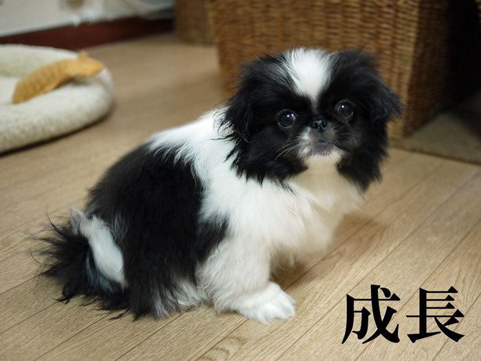 $ペキニーズ Blog-白ペキニーズ シロ♂ & 白黒ペキニーズ クロ♀のフォトブログ-2011.5.24.クロ