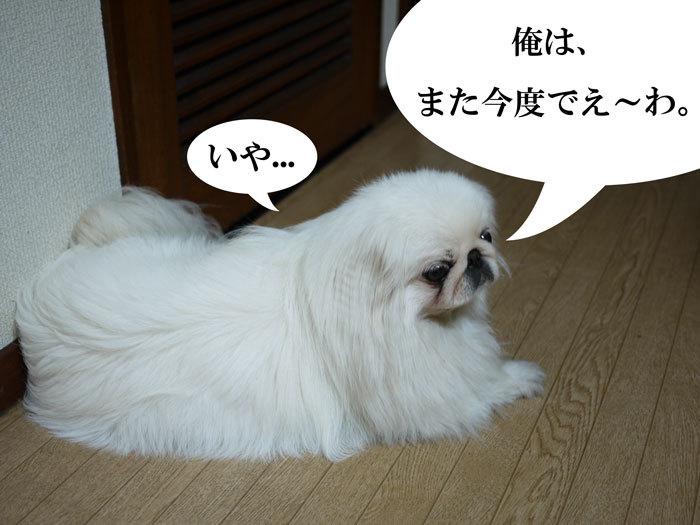 ペキニーズ Blog-白ペキニーズ シロ♂ & 白黒ペキニーズ クロ♀のフォトブログ-2011.5.24.シロ