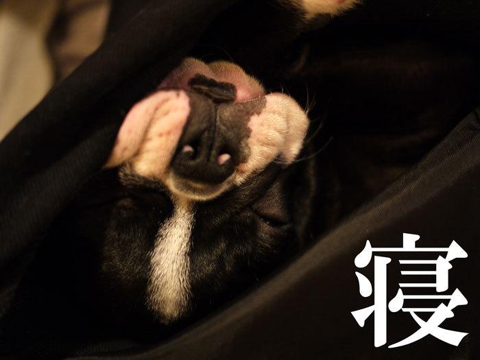 ペキニーズ Blog-白ペキニーズ シロ♂ & 白黒ペキニーズ クロ♀のフォトブログ-2011.5.20.nico