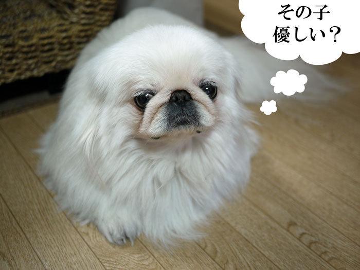 ペキニーズ Blog-白ペキニーズ シロ♂ & 白黒ペキニーズ クロ♀のフォトブログ-2011.5.20.シロ