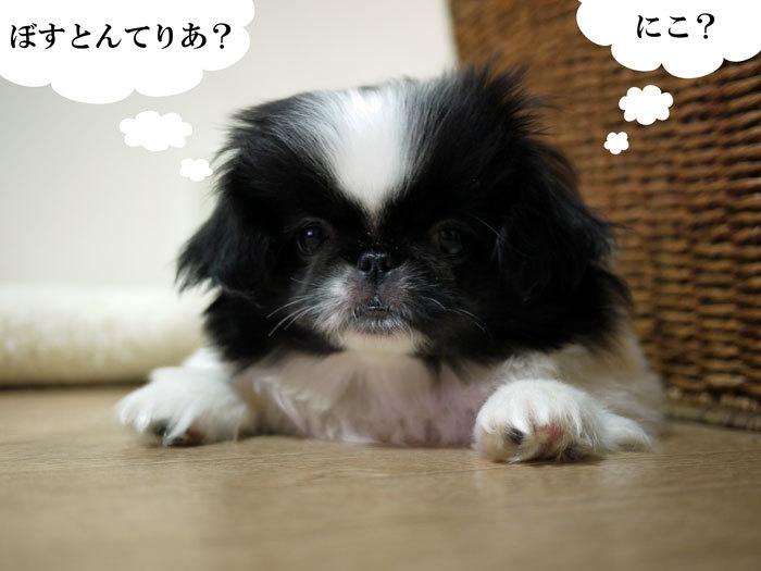 ペキニーズ Blog-白ペキニーズ シロ♂ & 白黒ペキニーズ クロ♀のフォトブログ-2011.5.20.クロ