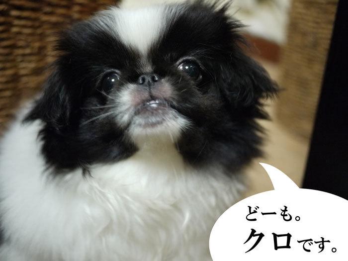 ペキニーズ Blog-白ペキニーズ シロ♂ & 白黒ペキニーズ クロ♀のフォトブログ-2011.6.6.クロ
