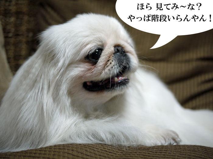 ペキニーズ Blog-白ペキニーズ シロ♂ & 白黒ペキニーズ クロ♀のフォトブログ-2011.6.6.シロ