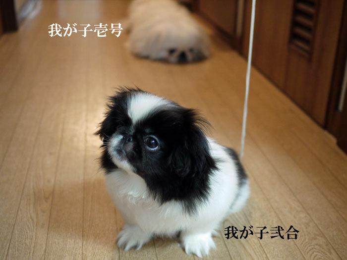 ペキニーズ Blog-白ペキニーズ シロ♂ & 白黒ペキニーズ クロ♀のフォトブログ-2011.5.23.シロクロ