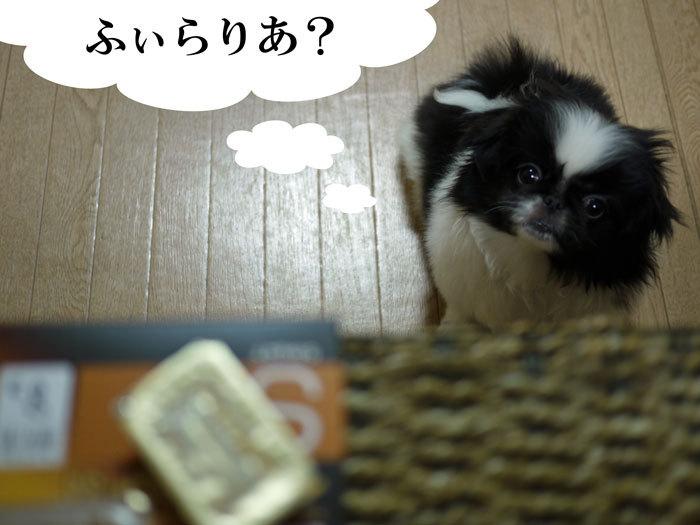 ペキニーズ Blog-白ペキニーズ シロ♂ & 白黒ペキニーズ クロ♀のフォトブログ-2011.5.28.クロ
