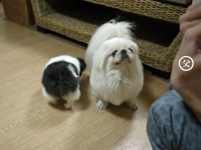 ペキニーズ Blog-白ペキニーズ シロ♂ & 白黒ペキニーズ クロ♀のフォトブログ-2011.5.28.シロクロ