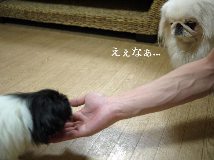 $ペキニーズ Blog-白ペキニーズ シロ♂ & 白黒ペキニーズ クロ♀のフォトブログ-2011.5.28.クロ
