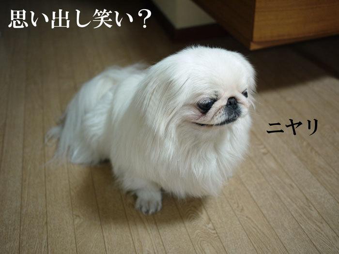 ペキニーズ Blog-白ペキニーズ シロ♂ & 白黒ペキニーズ クロ♀のフォトブログ-2011.5.28.シロ