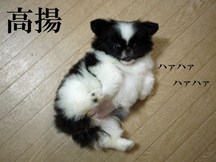 ペキニーズ Blog-白ペキニーズ シロ♂ & 白黒ペキニーズ クロ♀のフォトブログ-2011.5.19.クロ
