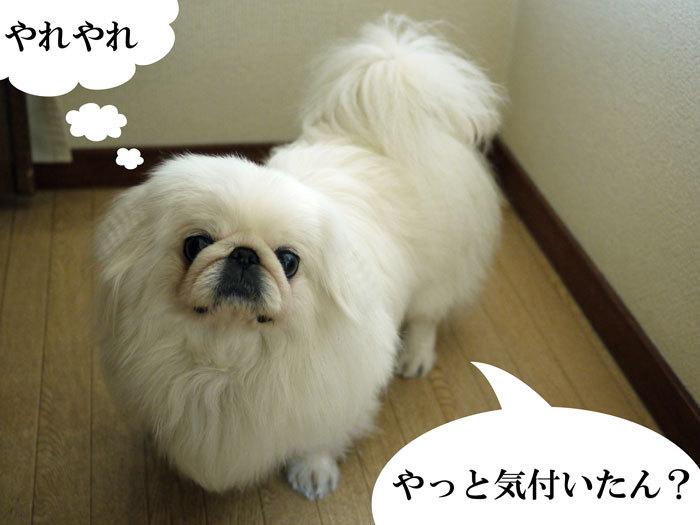 ペキニーズ Blog-白ペキニーズ シロ♂ & 白黒ペキニーズ クロ♀のフォトブログ-2011.5.19.シロ
