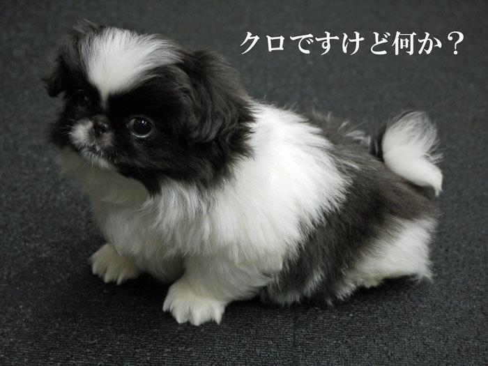 $ペキニーズ Blog-白ペキニーズ シロ♂ & 白黒ペキニーズ クロ♀のフォトブログ-2011.5.21.クロ
