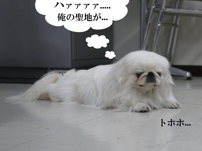 ペキニーズ Blog-白ペキニーズ シロ♂ & 白黒ペキニーズ クロ♀のフォトブログ-2011.5.21.シロ