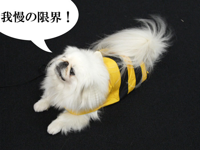 ペキニーズ Blog-白ペキニーズ シロ♂ & 白黒ペキニーズ クロ♀のフォトブログ-2011.5.26.シロ
