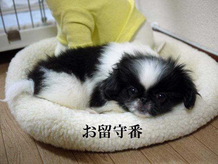 ペキニーズ Blog-白ペキニーズ シロ♂ & 白黒ペキニーズ クロ♀のフォトブログ-2011.5.26.クロ
