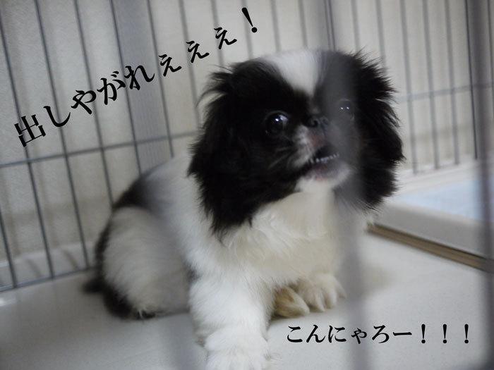 $ペキニーズ Blog-白ペキニーズ シロ♂ & 白黒ペキニーズ クロ♀のフォトブログ-2011.6.2.クロ