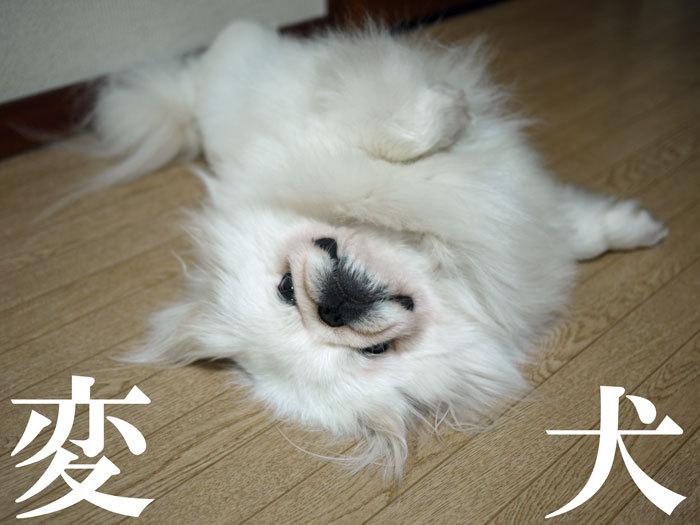 ペキニーズ Blog-白ペキニーズ シロ♂ & 白黒ペキニーズ クロ♀のフォトブログ-2011.6.2.シロ