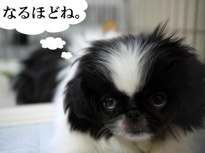 ペキニーズ Blog-白ペキニーズ シロ♂ & 白黒ペキニーズ クロ♀のフォトブログ-2011.6.2.クロ
