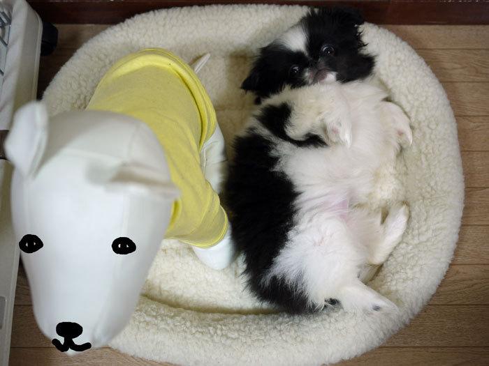ペキニーズ Blog-白ペキニーズ シロ♂ & 白黒ペキニーズ クロ♀のフォトブログ-2011.6.1.クロ
