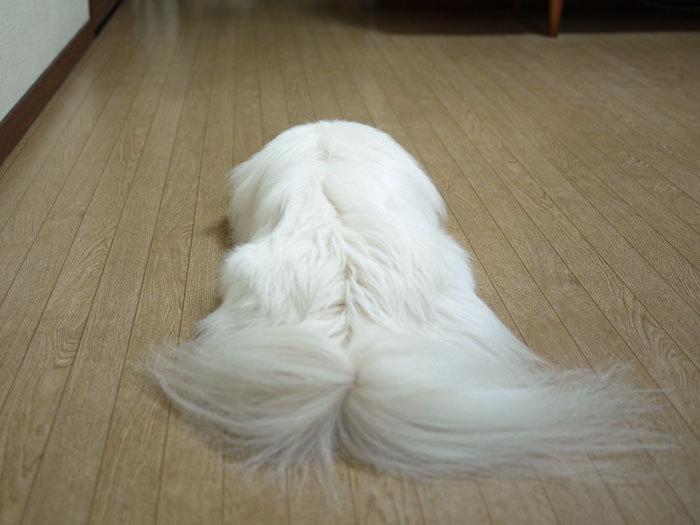 ペキニーズ Blog-白ペキニーズ シロ♂ & 白黒ペキニーズ クロ♀のフォトブログ-2011.6.1.シロ