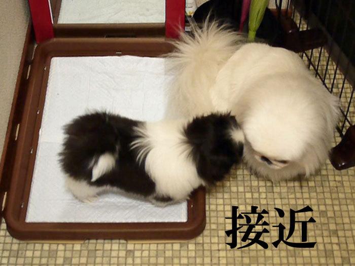ペキニーズ Blog-白ペキニーズ シロ♂ & 白黒ペキニーズ クロ♀のフォトブログ-2011.5.27.シロクロ