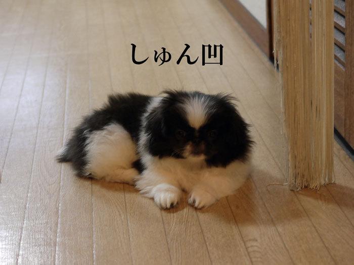 ペキニーズ Blog-白ペキニーズ シロ♂ & 白黒ペキニーズ クロ♀のフォトブログ-2011.5.27.クロ
