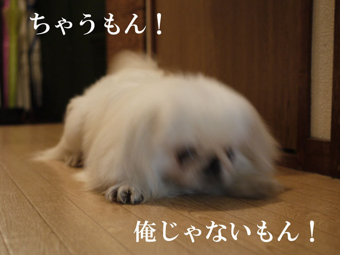 ペキニーズ Blog-白ペキニーズ シロ♂ & 白黒ペキニーズ クロ♀のフォトブログ-2011.5.27.シロ