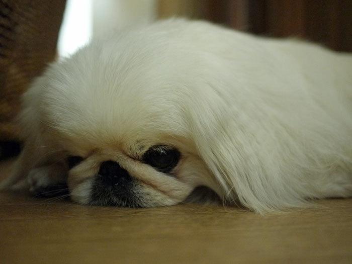 ペキニーズ Blog-白ペキニーズ シロ♂ & 白黒ペキニーズ クロ♀のフォトブログ-2011.5.30.シロ