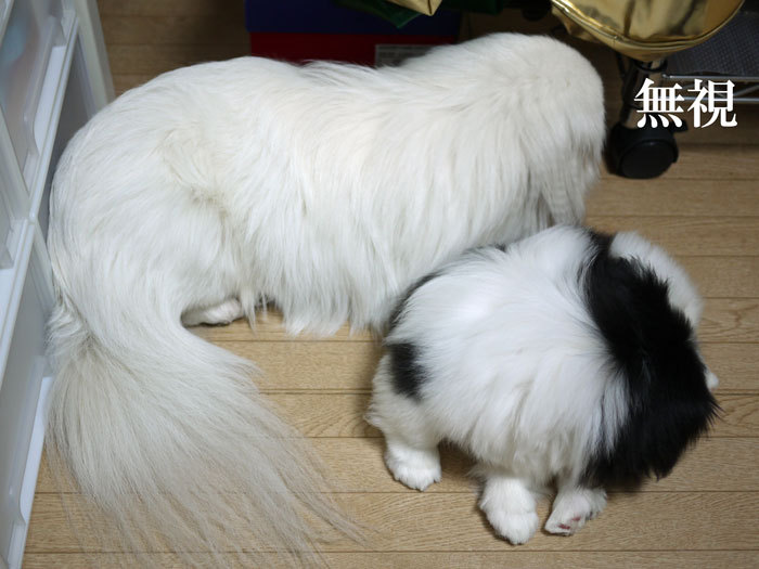 ペキニーズ Blog-白ペキニーズ シロ♂ & 白黒ペキニーズ クロ♀のフォトブログ-2011.5.30.シロクロ