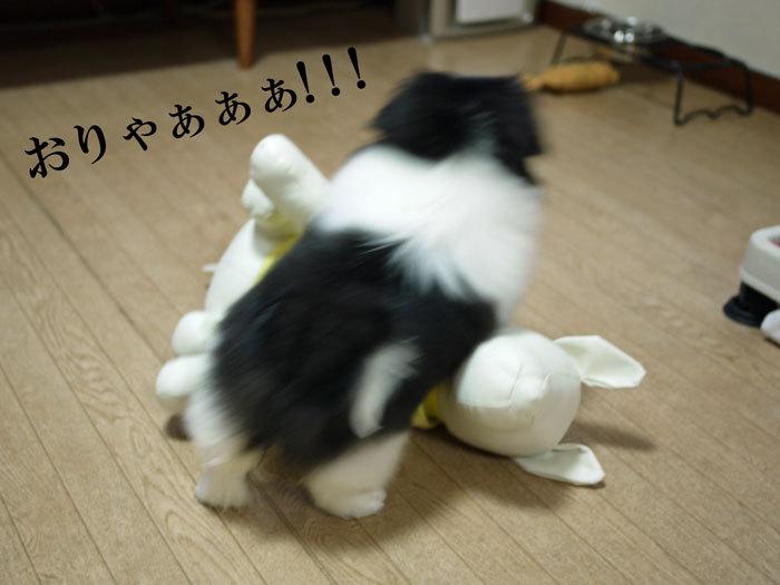 ペキニーズ Blog-白ペキニーズ シロ♂ & 白黒ペキニーズ クロ♀のフォトブログ-2011.5.30.クロ
