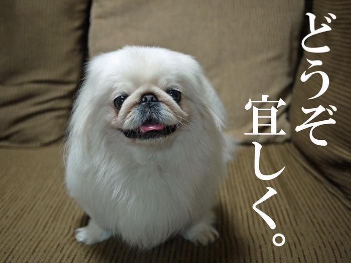ペキニーズ Blog-白ペキニーズ シロ♂ & 白黒ペキニーズ クロ♀のフォトブログ-2011.5.31.シロ