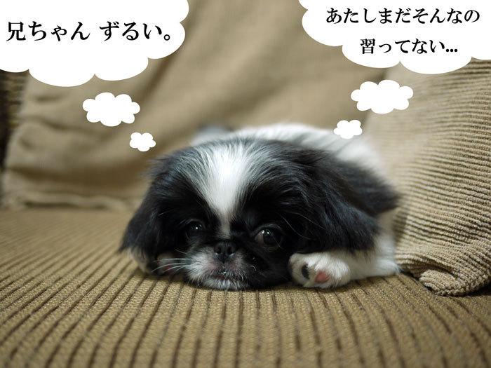 ペキニーズ Blog-白ペキニーズ シロ♂ & 白黒ペキニーズ クロ♀のフォトブログ-2011.5.31.クロ
