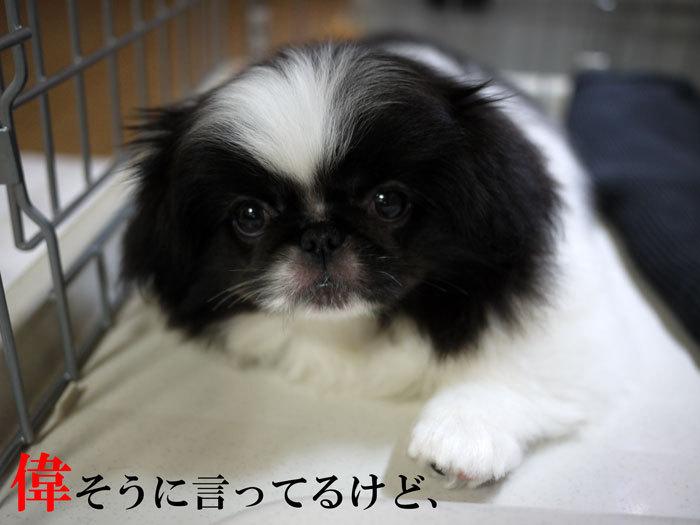 ペキニーズ Blog-白ペキニーズ シロ♂ & 白黒ペキニーズ クロ♀のフォトブログ-2011.6.4.クロ