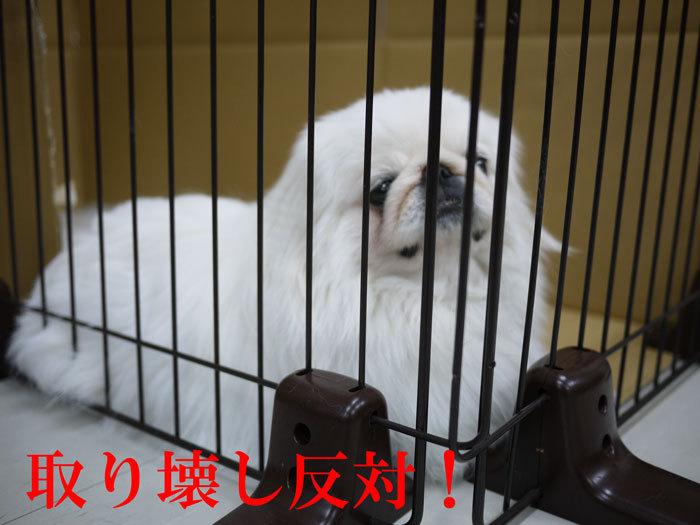 ペキニーズ Blog-白ペキニーズ シロ♂ & 白黒ペキニーズ クロ♀のフォトブログ-2011.6.4.シロ