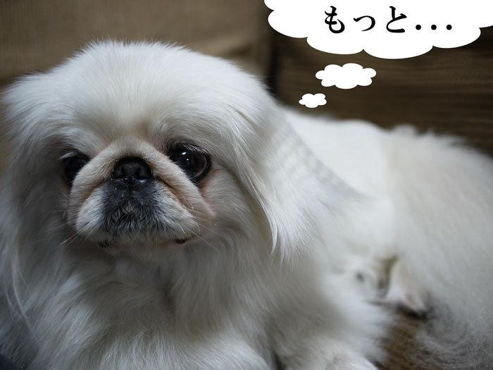 ペキニーズ Blog-白ペキニーズ シロ♂ & 白黒ペキニーズ クロ♀のフォトブログ-2011.6.24.シロ