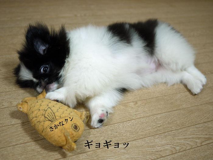 ペキニーズ Blog-白ペキニーズ シロ♂ & 白黒ペキニーズ クロ♀のフォトブログ-2011.6.24.クロ