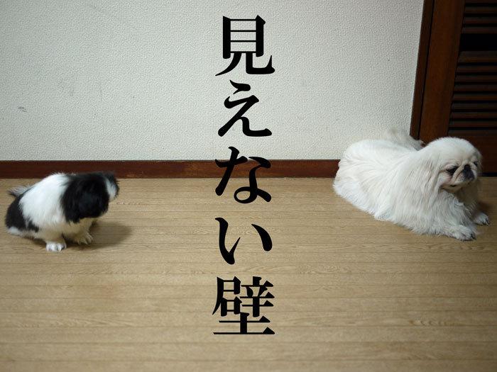 ペキニーズ Blog-白ペキニーズ シロ♂ & 白黒ペキニーズ クロ♀のフォトブログ-2011.6.10.シロクロ
