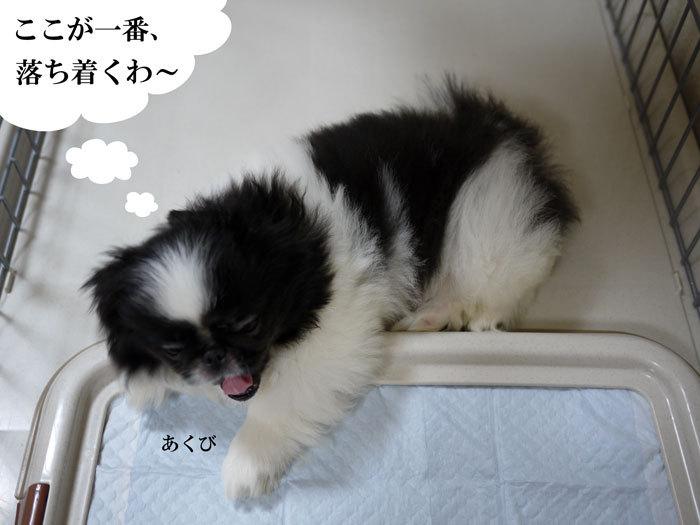 ペキニーズ Blog-白ペキニーズ シロ♂ & 白黒ペキニーズ クロ♀のフォトブログ-2011.6.20.クロ