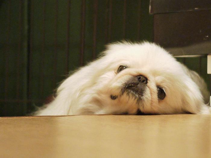 ペキニーズ Blog-白ペキニーズ シロ♂ & 白黒ペキニーズ クロ♀のフォトブログ-2011.6.20.シロ
