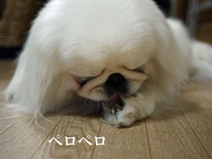 ペキニーズ Blog-白ペキニーズ シロ♂ & 白黒ペキニーズ クロ♀のフォトブログ-2011.6.21.シロ