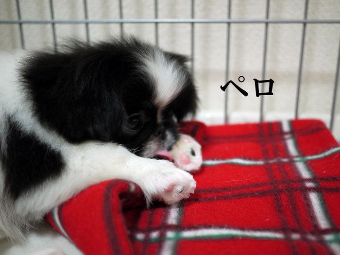 ペキニーズ Blog-白ペキニーズ シロ♂ & 白黒ペキニーズ クロ♀のフォトブログ-2011.6.21.クロ