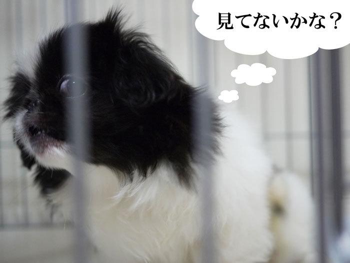 ペキニーズ Blog-白ペキニーズ シロ♂ & 白黒ペキニーズ クロ♀のフォトブログ-2011.6.8.クロ