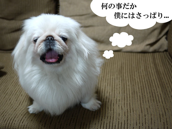 ペキニーズ Blog-白ペキニーズ シロ♂ & 白黒ペキニーズ クロ♀のフォトブログ-2011.6.8.シロ