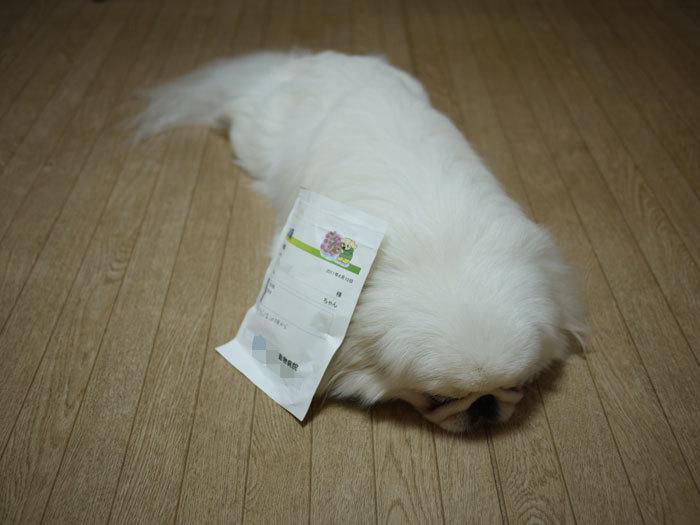 ペキニーズ Blog-白ペキニーズ シロ♂ & 白黒ペキニーズ クロ♀のフォトブログ-2011.6.11.シロ薬