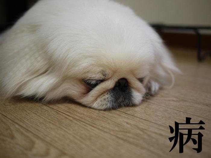 ペキニーズ Blog-白ペキニーズ シロ♂ & 白黒ペキニーズ クロ♀のフォトブログ-2011.6.11.シロ