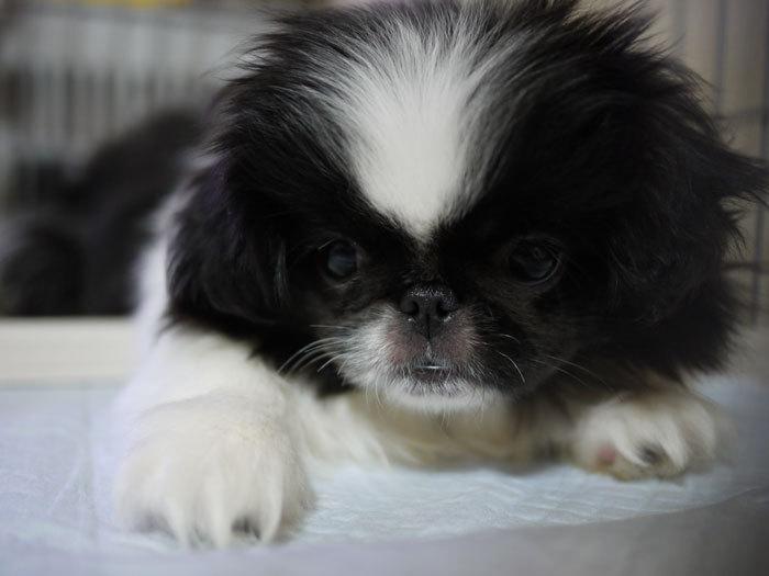 ペキニーズ Blog-白ペキニーズ シロ♂ & 白黒ペキニーズ クロ♀のフォトブログ-2011.6.11.クロ