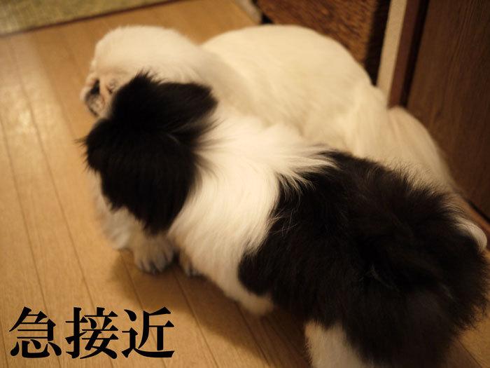 ペキニーズ Blog-白ペキニーズ シロ♂ & 白黒ペキニーズ クロ♀のフォトブログ-2011.6.18.シロクロ